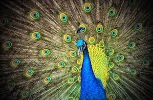 peacock-small