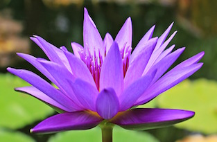 water-lily-small